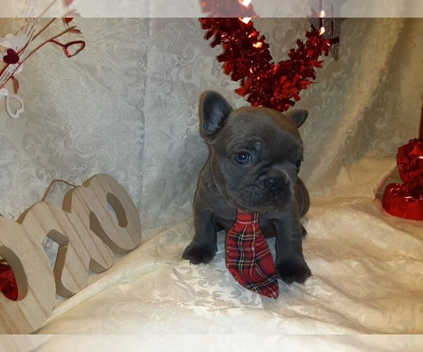 Medium Photo #1 French Bulldog Puppy For Sale in PAWTUCKET, RI, USA