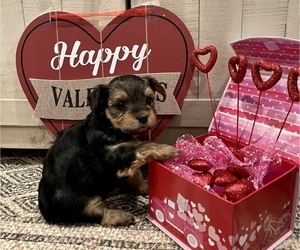 Morkie Puppy for sale in VALDOSTA, GA, USA