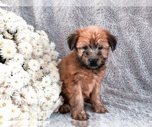 Soft Coated Wheaten Terrier Puppy for Sale in ELIZABETHVILLE, Pennsylvania USA