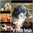 American Bully Mikelands  Puppy For Sale in HOMESTEAD, FL, USA