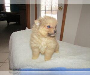 Pomeranian Puppy for sale in KALAMAZOO, MI, USA