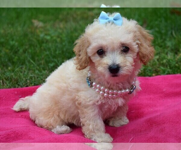Medium Photo #1 Shih-Poo Puppy For Sale in COSHOCTON, OH, USA
