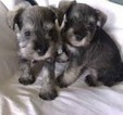 Schnauzer (Miniature) Puppy For Sale in CHARLES TOWN, WV, USA