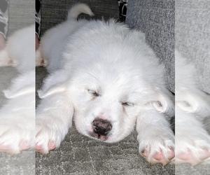 Great Pyrenees Puppy for sale in HAZEL GREEN, AL, USA