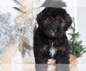 Bernedoodle Dog for Adoption in BEL AIR, Maryland USA