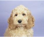 Puppy 1 Cocker Spaniel-Poodle (Miniature) Mix