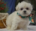 Poodle (Toy)-Shih Tzu Mix Puppy For Sale in TUCSON, AZ, USA