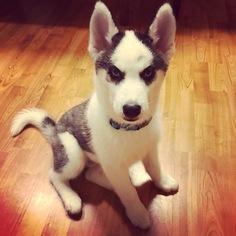 Siberian Husky Dog For Adoption in NORTH LIBERTY, IA