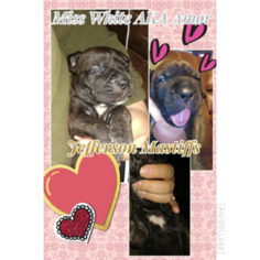 Cane Corso Puppy For Sale in WAVERLY, VA