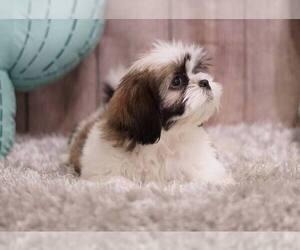 Shih Tzu Puppy for sale in FULLERTON, CA, USA