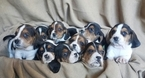 Basset Hound Puppy For Sale in SANTA YNEZ, CA, USA