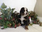 Bernese Mountain Dog Puppy For Sale in GWYNN OAK, MD, USA