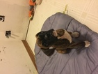 Boxer Puppy For Sale in GURNEE, IL, USA