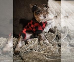 Schnauzer (Miniature) Puppy for Sale in SALINAS, California USA