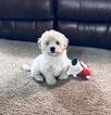 Maltese-Poodle (Standard) Mix Puppy For Sale in ELIZABETH, WV, USA