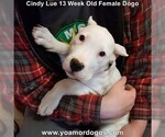 Small Photo #197 Dogo Argentino Puppy For Sale in PINEVILLE, MO, USA