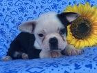 Boston Terrier Puppy For Sale in EAST EARL, Pennsylvania,