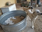 Anatolian Shepherd Puppy For Sale in HEALDSBURG, CA, USA