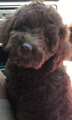 Australian Shepherd-Poodle (Miniature) Mix Puppy For Sale in NASHVILLE, TN, USA