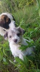 Schnauzer (Miniature) Puppy For Sale in WHEELER, WI, USA