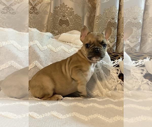 Medium Photo #9 French Bulldog Puppy For Sale in JACKSONVILLE, FL, USA