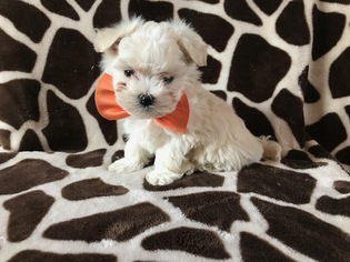 Maltese Puppy for sale in NEW PROVIDENCE, PA, USA