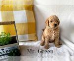 Puppy 3 Goldendoodle-Woodle Mix