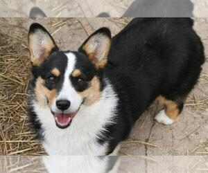 Mother of the Pembroke Welsh Corgi puppies born on 08/17/2020