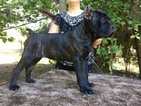 Cane Corso Puppy For Sale in PORTERVILLE, CA, USA
