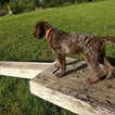 Small #3 Wirehaired Pointing Griffon