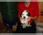 Puppy 10 Saint Bernard