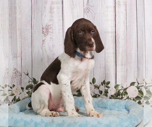 German Shorthaired Pointer Puppy for sale in PENNS CREEK, PA, USA