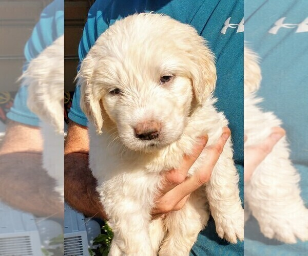Medium Photo #5 Pyredoodle Puppy For Sale in MARION, TX, USA