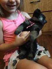 German Shepherd Dog Puppy For Sale in FAIRBURY, IL, USA