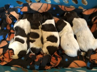 German Wirehaired Pointer Puppy For Sale in PANORA, IA, USA