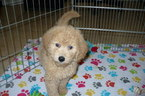 Goldendoodle Puppy For Sale in TUCSON, AZ, USA