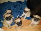 Pug Puppy For Sale in NORTH ATTLEBORO, MA, USA