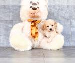 Small #1 Bichon Frise-Poodle (Standard) Mix