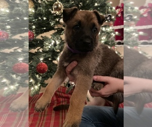 Malinois Puppy for Sale in RIALTO, California USA