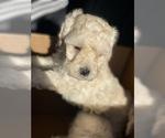 Small #5 Maltipoo-Poodle (Miniature) Mix