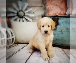 Labradoodle Puppy for Sale in WEST PLAINS, Missouri USA