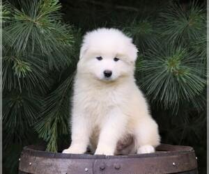 Samoyed Dog for Adoption in FREDERICKSBG, Ohio USA