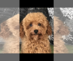 Small #8 Poodle (Toy)