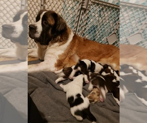 Saint Bernard Puppy for sale in GR BLANC, MI, USA