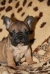 French Bulldog Puppy For Sale in MIDDLEBURG, Florida,