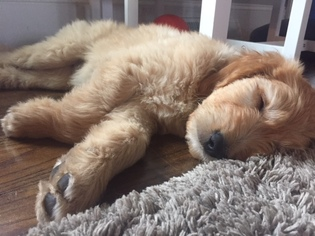 View Ad Goldendoodle Puppy For Sale Tennessee Franklin Usa