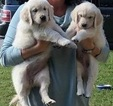 English Cream Golden Retriever Puppy For Sale in LAKELAND, FL, USA