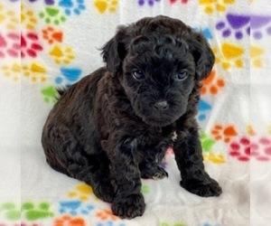 Zuchon Puppy for sale in ALGOMA, WI, USA