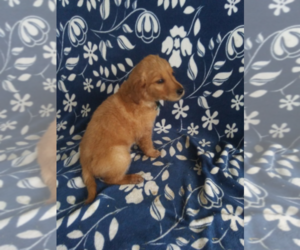 Goldendoodle Puppy for sale in BLOOMINGTON, IN, USA