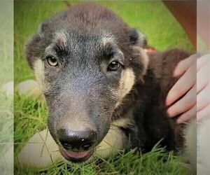 German Shepherd Dog-Siberian Husky Mix Puppy for Sale in JOPLIN, Missouri USA